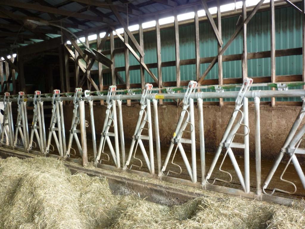 Hoek Holsteins Headlocks 1