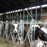 Hoek Holsteins Headlocks